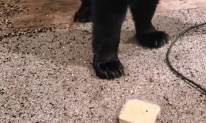 Lady Feeds Black Bear on Front Porch