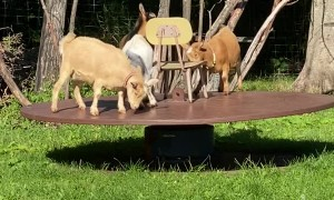 Dwarf Goats Happily Play on Merry-Go-Round