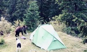 Bears Raid Tourists Tent