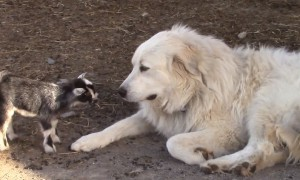 Responsible Dog Happily Babysits Tiny Baby Goats