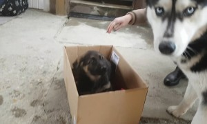 Husky is totally confused by German Shepherd puppy addition