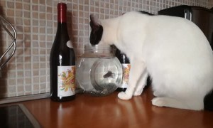 Cat Drinks Water from Goldfish's Home
