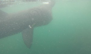 Basking Shark at Fladdabister