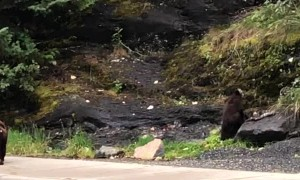 Nicky the Famous Black Bear in Juneau Alaska Shows off to Tourists