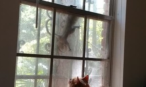 Taunted Maine Coon Glares at Squirrel Through Window