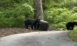 Bears Grab Garbage To Go