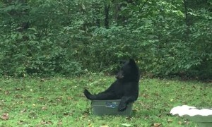 A Black Bear Relaxes in a Tub of Water