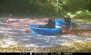 Bear Brings Cub for a Swim in Kiddie Pool