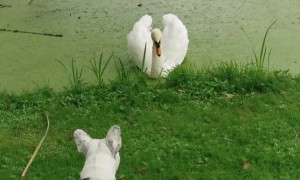 French Bulldog is Curious About Swan