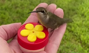 Hand Fed Hummingbirds Enjoying a Snack