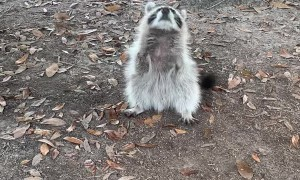 Friendly Raccoon Loves People and Cats