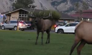 Bull Elk Bugles for His Ladies