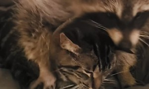 Kitty Tolerates Clingy Raccoon
