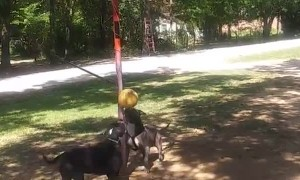 Competitive Pit Bulls Play a Round of Tether Ball