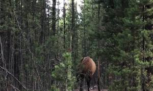 Bull Elk in the Rut Rubbing Antlers on Trees