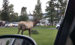 Bull Elk Face Checks a Parked Car