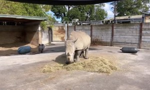 Rhino calf gets the zoomies, runs circles around mom