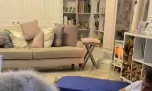 Husky Confused by His Bed Squeaking