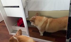 Corgi Makes Faces in the Mirror