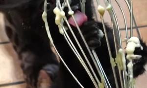 Black Bengal Kitten Clings to Whisk for Yummy Batter