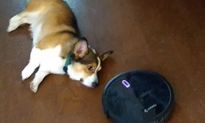 Corgi Disapproves of Robot Vacuum