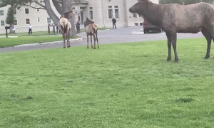 Elk Calls Out to Impress Harem