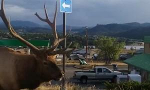 Huge Bull Elk Strolls Down the Street