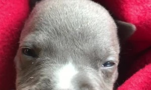 Staffordshire Terrier Puppy Has a Cute Whine