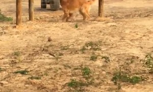 Excited Golden Retriever Tries Running Through a Fence