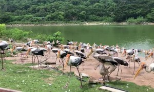 Stork and Pelican Compete for Thrown Fish at Thai Zoo