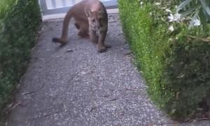 Mountain Lion Watching Children Play