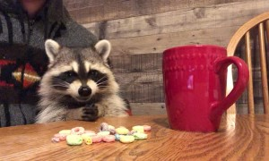 Baby Raccoon Munches Fruit Loops for Breakfast