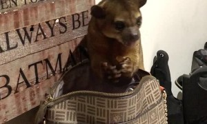 Naughty Kinkajou Steals From Purse