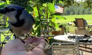 Friendly Bluejay Swoops in for Breakfast