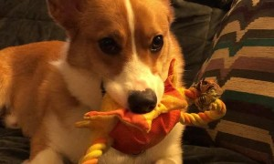 Corgi Finds a Way to Communicate