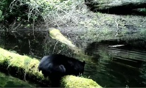 Black Bear Belly Flop