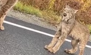 Lynx Face off in the Middle of the Road