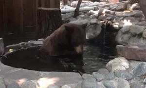 Bear Bathes in California Pond