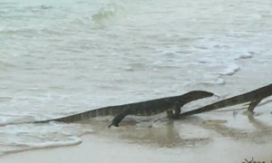 Monitor Lizards Battling on the Beach