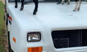Curious Goats Greet Morning Mail Carrier