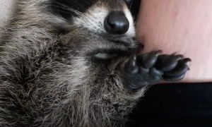 Raccoon Snuggling and Thumb Sucking
