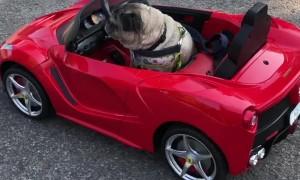 Pug Drives a Ferrari Like a Boss