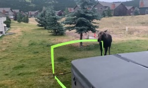Baby Moose Plays with Soccer Net