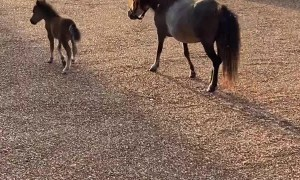 Teddy the Tiny Miniature Horse Has the Zoomies