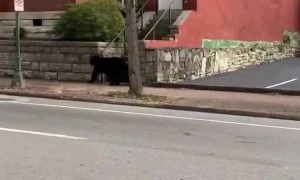 Bear casually roams the streets of downtown Chattanooga