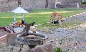Deer Make for Pleasant Morning Visitors