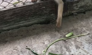 Clever Monkey Snags Out of Reach Snack