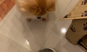 Pomeranian Doesn't Approve of Diet