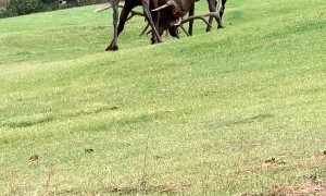 Bull Elk Bout and Bugle on Golf Course