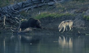 Grizzly Lazily Fends off Its Meal from a Wolf